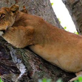 queen-elizabeth-national-park-tree-climbing-lions