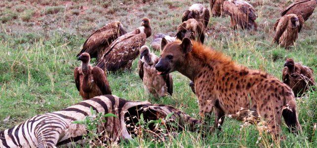 10 Days Super Tanzania Safari Tour - Hyenas in Serengeti national park