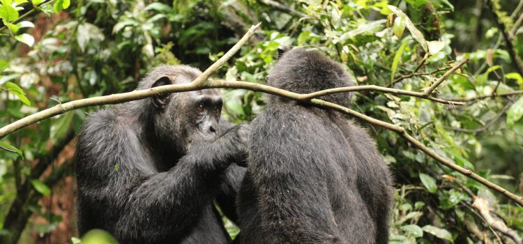 Best chimpanzee trekking safari